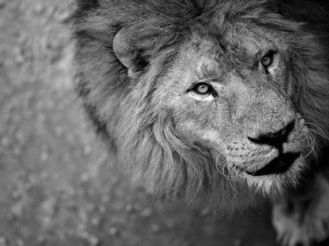 Leão, símbolo do imposto de renda
